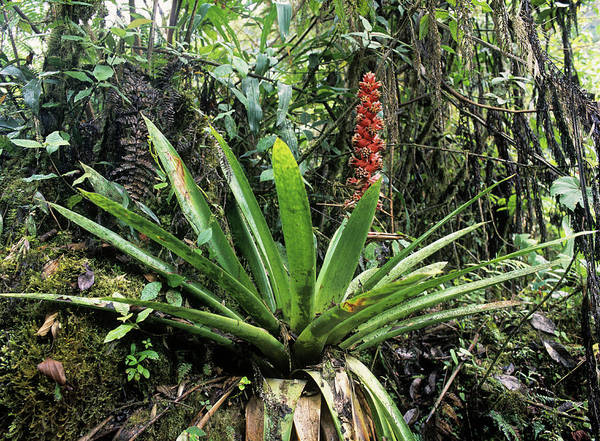 Bromeliad Photograph - Bromeliad Plant by Dr Morley Read/science Photo Library