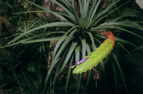 Bromeliad Photograph - Bromeliad Plant (tillandsia Fasciculata) by Sally Mccrae Kuyper/science Photo Library