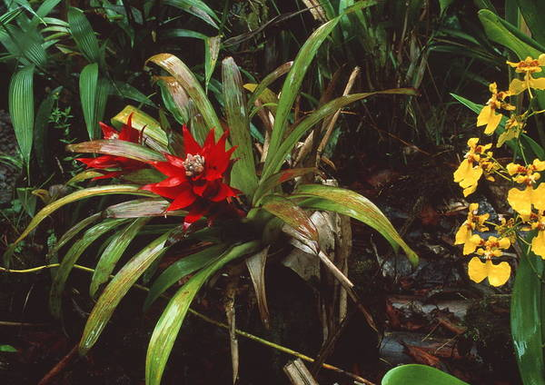 Bromeliad Photograph - Bromeliad Plant With Orchid by Sinclair Stammers/science Photo Library