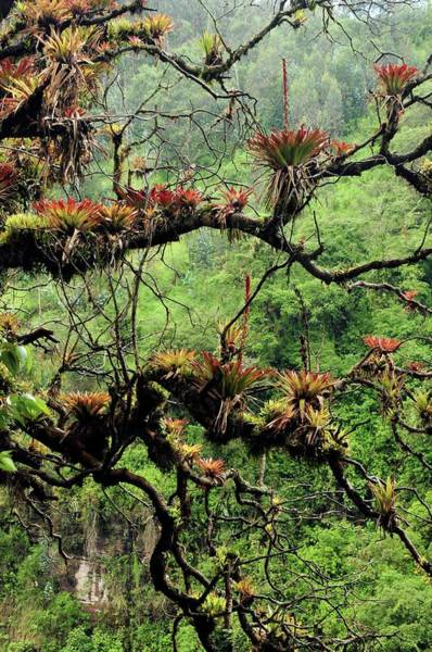 Bromeliad Photograph - Bromeliads Growing On A Tree by Sinclair Stammers/science Photo Library