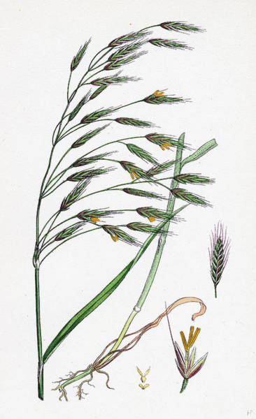 Grass Field Drawing - Bromus Arvensis Field Brome-grass by English School