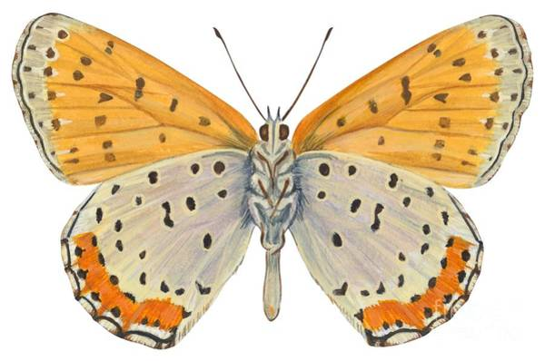 Bronze Copper Butterfly Art Print