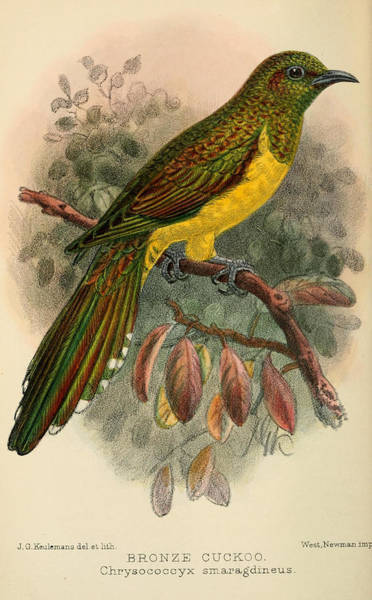 Bronze Painting - Bronze Cuckoo by Dreyer Wildlife Print Collections