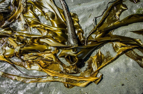 Photograph - Bronzed Bull Kelp 3 by Roxy Hurtubise