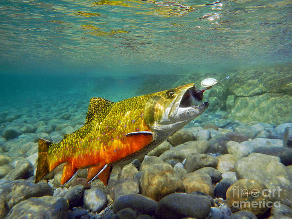 Brook Mixed Media - Brook Trout And Spinner by Paul Buggia