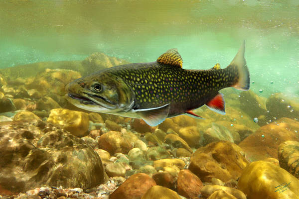 Wall Art - Painting - Brook Trout by M Spadecaller