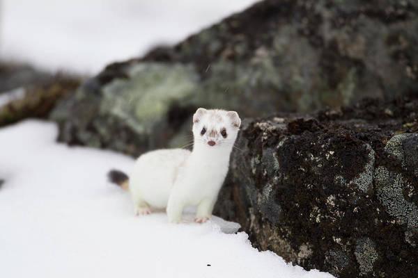 Weasel Wall Art - Photograph - Brooks Range, Arctic National Wildlife by Hugh Rose