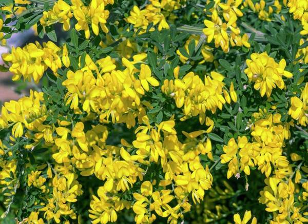 Broom Photograph - Broom (genista 'porlock') In Flower by Brian Gadsby/science Photo Library
