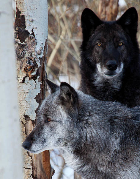 Photograph - Brother Wolf by Jim Garrison