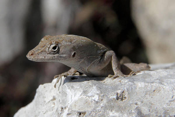 Brown Anole Wall Art - Photograph - Brown Anole Close Up by Doris Potter