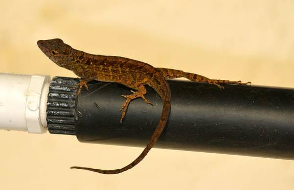 Brown Anole Wall Art - Photograph - Brown Anole On Pipe by Richard Bryce and Family