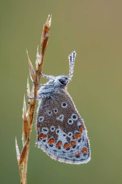 Imago Photograph - Brown Argus Butterfly by Heath Mcdonald
