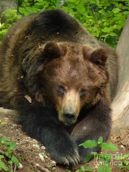 Photograph - Brown Bear - Alert by Phil Banks