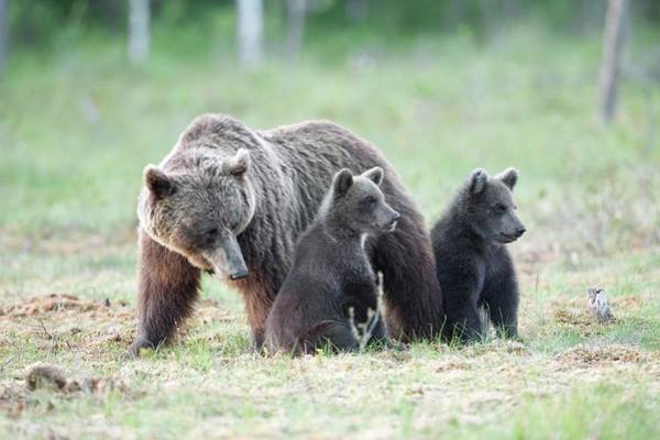 Finnish Photograph - Brown Bear And Cubs by Dr P. Marazzi/science Photo Library