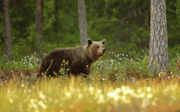 Strong Photograph - Brown Bear by Assaf Gavra