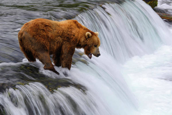 Grizzly Bear Photograph - Brown Bear At Brooks Falls by Naphat Photography