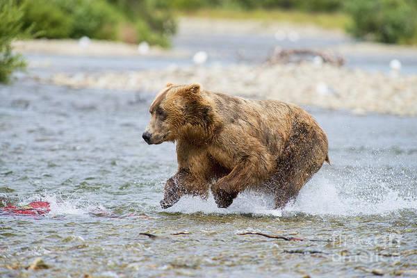Photograph - Brown Bear Chasing Salmon by Dan Friend