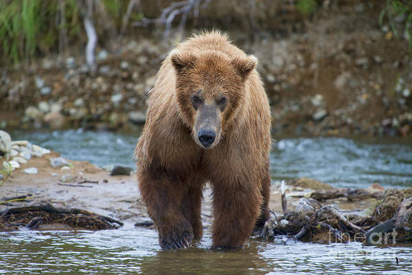 Photograph - Brown Bear Coming In Water by Dan Friend