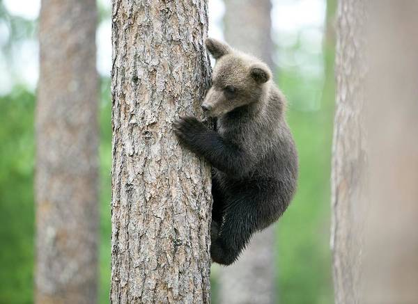 Finnish Photograph - Brown Bear Cub Climbing A Tree by Dr P. Marazzi/science Photo Library