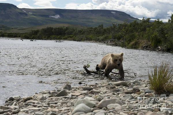 Photograph - Brown Bear Cub Coming Ashore by Dan Friend