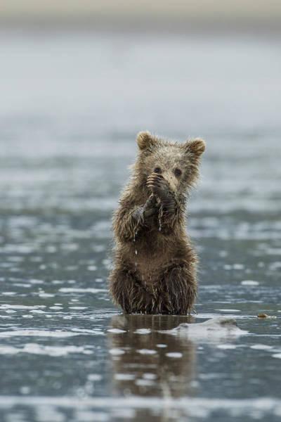 Photograph - Brown Bear Cub by D Robert Franz