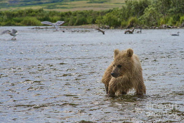 Photograph - Brown Bear Cub Looking At Salmon In Water by Dan Friend