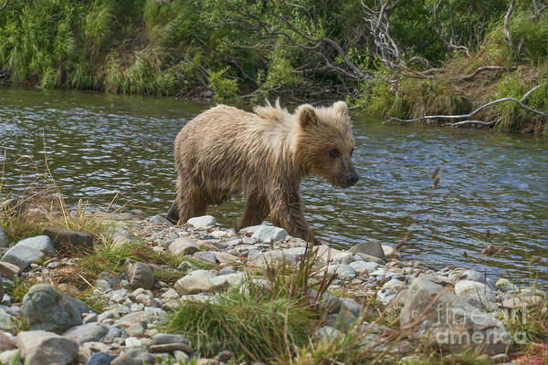 Photograph - Brown Bear Cub On Bank Following Mother Upstream by Dan Friend