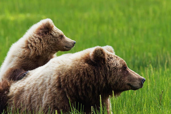 Born In The Usa Photograph - Brown Bear Cub Standing On Mothers Back by Richard Wear / Design Pics