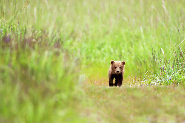 Born In The Usa Photograph - Brown Bear Cub Walking Down A Trail At by Richard Wear / Design Pics