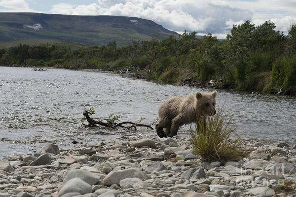Photograph - Brown Bear Cub Walking On Shore by Dan Friend