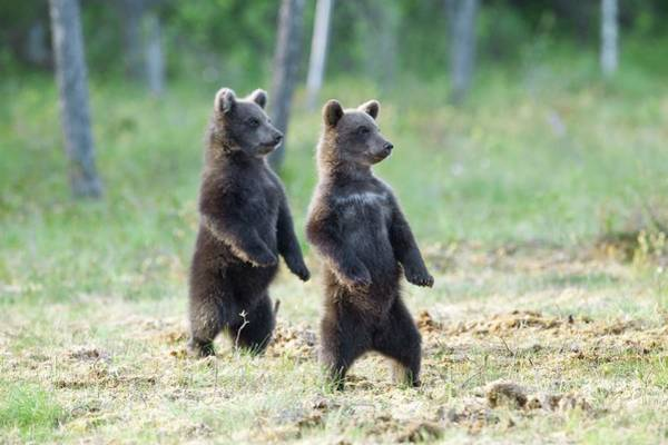 Finnish Photograph - Brown Bear Cubs by Dr P. Marazzi/science Photo Library