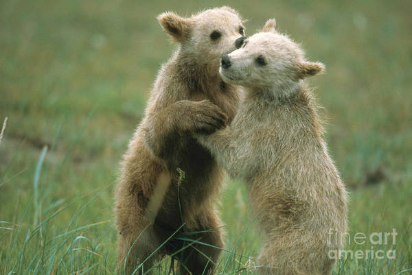Photograph - Brown Bear Cubs by Mark Newman