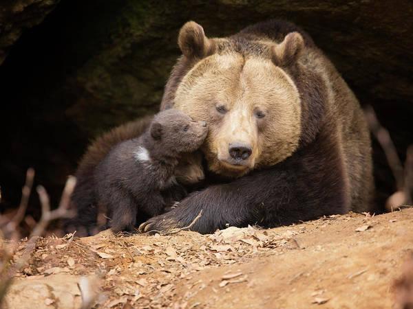 Wall Art - Photograph - Brown Bear Family by Dietermeyrl