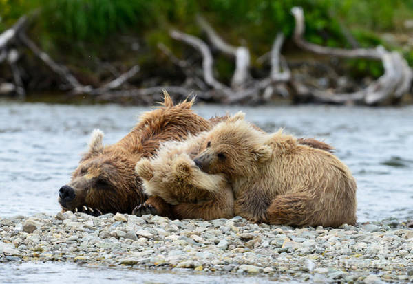 Photograph - Brown Bear Family Sleeping Middle Of Creek by Dan Friend