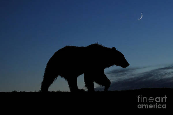 Photograph - Brown Bear Heading For Place To Bed Down At End Of Day by Dan Friend
