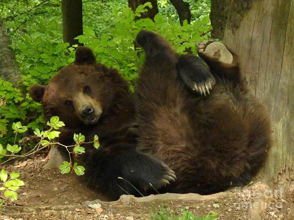Photograph - European Brown Bear by Phil Banks