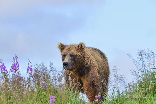 Photograph - Brown Bear In Field by Dan Friend