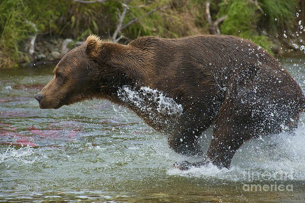 Photograph - Brown Bear In Full Pursuit by Dan Friend