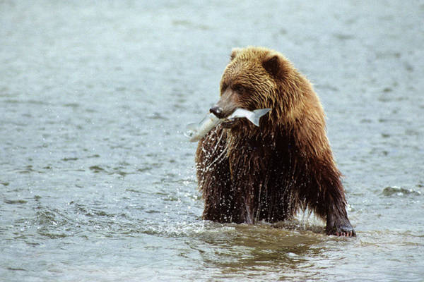 Big Bear Photograph - Brown Bear In River With Salmon by Animal Images