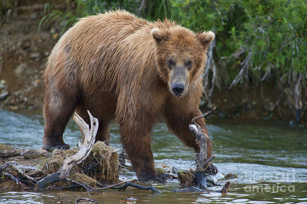 Photograph - Brown Bear In Stream by Dan Friend