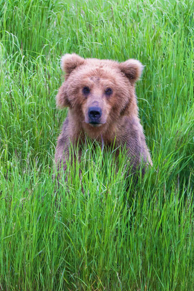 Born In The Usa Photograph - Brown Bear In The Grass by Keren Su