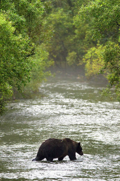 Born In The Usa Photograph - Brown Bear In Water At Fish Creek by Richard Wear / Design Pics