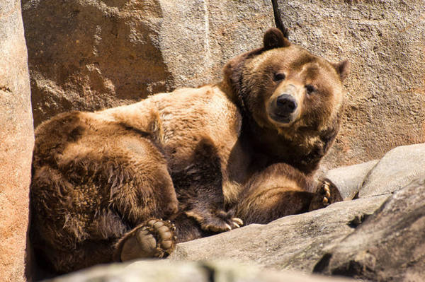 Photograph - Brown Bear Is Fully Awake by Chris Flees