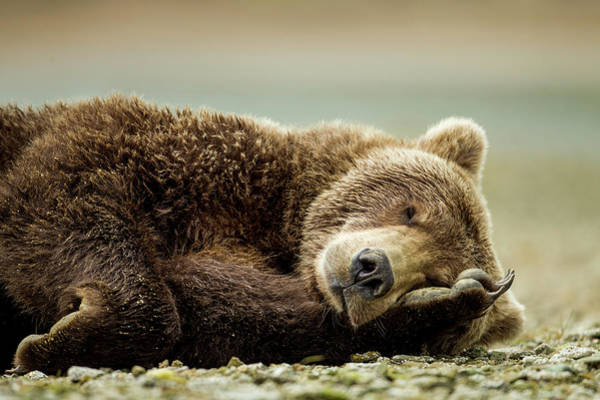 Horizontal Photograph - Brown Bear, Katmai National Park, Alaska by Paul Souders