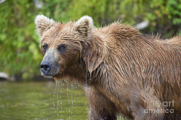 Photograph - Brown Bear Looking Up After Trying Catch Salmon by Dan Friend