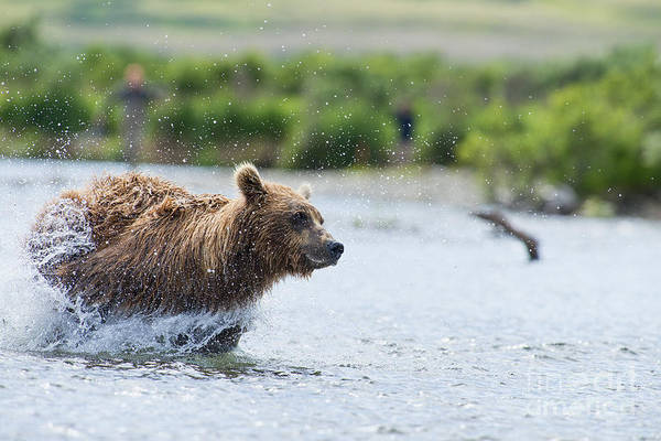 Photograph - Brown Bear Mother Flying Through Water After Salmon by Dan Friend