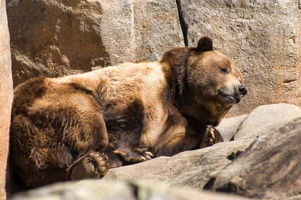 Photograph - Brown Bear Nods Back Asleep by Chris Flees