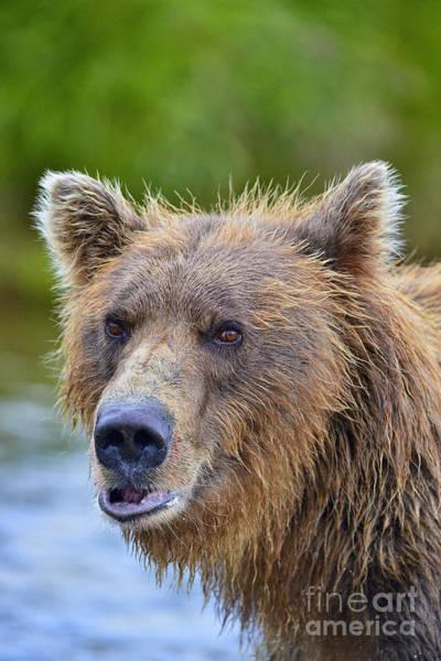 Photograph - Brown Bear Portrait by Dan Friend