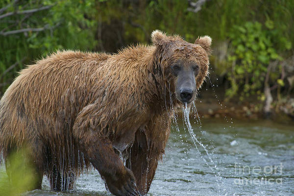 Photograph - Brown Bear Raising Head Out Of Water by Dan Friend