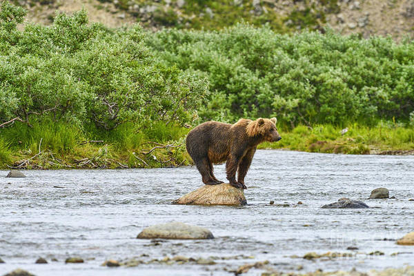 Photograph - Brown Bear Searching For Salmon On Rock by Dan Friend